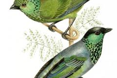 Наколка : Птицы, Цветные
