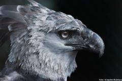 Наколка : Птицы, Орел - эскиз