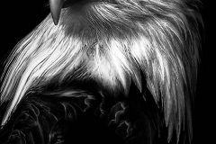 Тату : Птицы, Орел - эскиз
